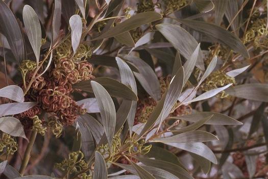 Australian acacia trees